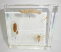 Silk Moth simplified Life Cycle Set Bombyx mori Education Insect Specimen