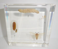 Silk Moth Life Cycle Set Bombyx mori simplified Insect Specimen Teaching Aid
