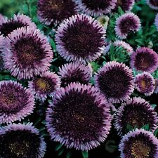 50 BLUE MOON ASTER Callistephus Pompon Flower Seeds *Comb S/H & Free Gift