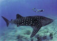 3 -D - Ansichtskarte:Walhai und Taucher - Whale Shark - Malediven