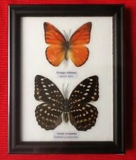 2 REAL BUTTERFIES ORANGE ALBTROSS BUTTERFLY TAXIDERMY INSECT PICTURE FRAME