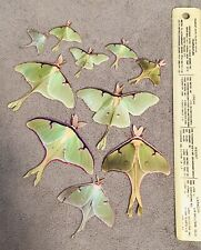 Luna Moth Stickers Homemade Photograph New Peel Stickers Insect Bug Life-size