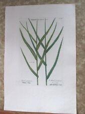 "Vintage Engraving,ARUNDO PRATEN,C.1740,WEINMANN,Botanical,20x13.5"",Mezzotint"