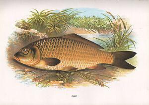 VINTAGE FACSIMILE FISH PRINT ~ CARP ~ A. F. LYDON