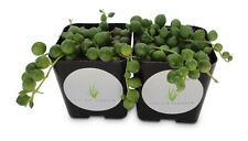 "String of Pearls Succulents Senecio Rowleyanus 2 Pack in 2"" Pots"