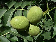 Three  Juglans Regia English Walnut seeds