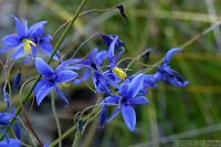Graceful Blue Lily Seeds Frost Hardy Perennial Blue/Green Leaf Stypandra glauca