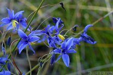 Graceful Blue Lily Seeds Frost Hardy Perennial Blue/Green Leaf Stypandra glauca
