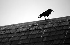 Framed Print - Black & White Crow Standing on a Roof Top (Picture Bird Animal)