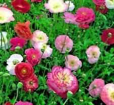 Papaver Shirley Double Mixed - Poppy- Approx 10,500 seeds - Annuals & Biennials