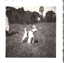 Vintage Photograph 1930'S Wire Hair Fox Terrier Dog Posing On Leash Mexico Photo