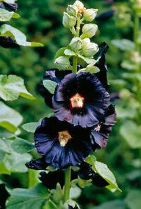 6 X BLACK HOLLYHOCK ALCEA ROSEA NIGRA TALL GROWING  PERENNIAL
