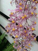 Orchid Oncidium sotoanum (seedling)