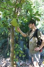 winterharte Milchorangebaum Stecklinge schnellwüchsige exotische Pflanzen Garten