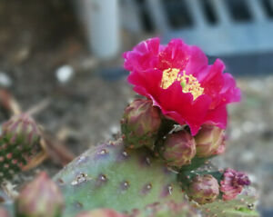 Opuntia cv. Walk In Beauty 4 Flower Colors You Pick Cactus 1 Pad