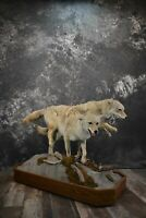 SKU 1551 2 Life Size Coyotes Taxidermy Mount Remarkable