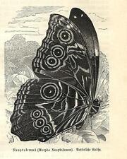 Stampa antica FARFALLE Morpho neoptolemus BUTTERFLIES 1891 Old antique print