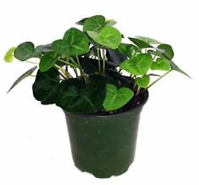 """Sweetheart English Ivy - Hedera - 3"""" Pot - Easy to Grow, Indoors - Live Plant"""