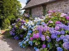 Hydrangea Flower Mix Colour Giant Gorgeous Garden Plants 10 Seeds