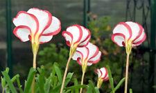 Rare Oxalis Versicolor Candy Cane Sorrel 150 x Seeds Fast Aust Post