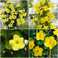 YELLOW Mandevilla ~ Dipladenia ~ Vine Live Plant 12 inches tall or more ~