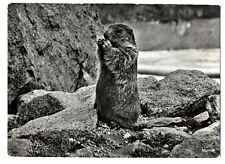 CPSM Faune de Montagne Marmotte
