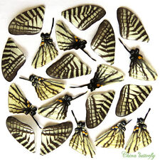 GIFT 20 pcs REAL BUTTERFLY wing material  DIY artwork jewelry  #35