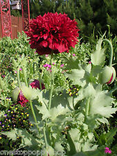 500 Poppy Flower Seeds Red Scarlet Peony Poppies Papaver Paeoniflorum #58