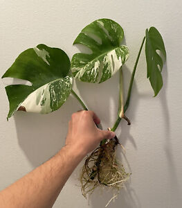Variegated Monstera Albo Borsigiana Cutting Rooted (30-Day Guarantee)