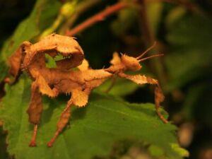 20 oeufs de phasmes Extatosoma tiaratum appelé aussi phasmes scorpions
