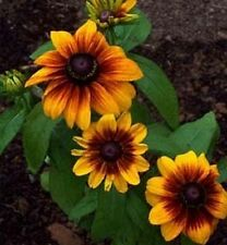 Gloriosa Daisy (Rudbeckia Hirta Sunset)- 200 seeds
