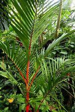 10 graines de Cyrtostachys renda / palmier rouge - Lipstick palm seeds - semi
