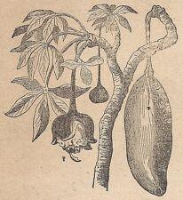 A4580 Frutto e fiore dell'Adansonia - Incisione - Stampa Antica del 1887