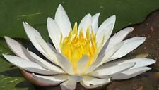 Nymphaea sp. Virginalis White water Lily 15 seeds