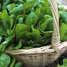 200 Graines d'Épinard Tout l'Année / Potager Légumes Plantes