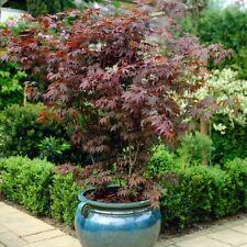 Japanese Palmate Maple Tree Acer Palmatum Shrub Patio Garden Potted Woody Plants