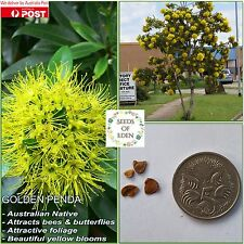 10+ GOLDEN PENDA SEEDS(Xanthostemon chrysanthus); attracts butterflies