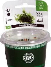 Christmas Moss Vesicularia montagnei - Dennerle Plant It InVitro Shrimp Safe