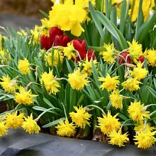 "50 Daffodils Bulbs Narcissus ""RIP VAN WINKLE"" Spring Flowering Bulbs Narcissi"
