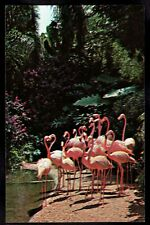 Florida, St Petersburg Pink Flamingos Sunken Gardens unused Postcard fl21