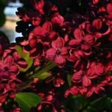 25 Red Lilac Seeds Tree Fragrant Hardy Perennial Flower Shrub Garden Plant 593