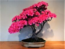 10pcs New Japanese Sakura Cherry Blossom Flower Seeds Bonsai Rare Tree