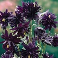 Columbine Seeds - BLACK BARLOW - Winter Hardy Heirloom - Perennial - 10 Seeds
