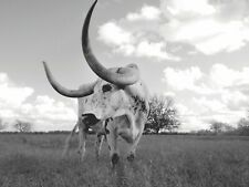 Longhorn Steer Cow Black & White - Art Picture Poster Photo Print 11Anml