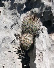 Escobaria Pottsiana - 100 Seeds