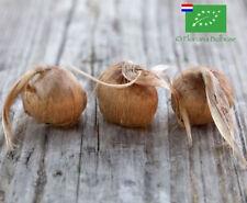 100 Bulbi di Zafferano BIO (Crocus sativus) calibro 9/10 PREVENDITA