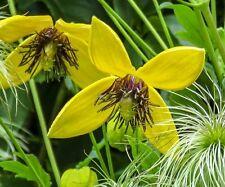 ☺100 graines rares de clématite jaune