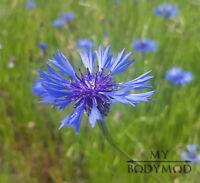 10000 Samen Kornblume Blauer Junge | Centaurea cyanus Saatgut