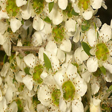 Leptospermum polygalifolium 100 seeds Jelly Bush Australian native medical honey
