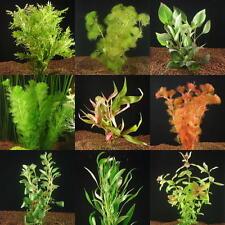 20 rote Aquarienpflanzen, 3 Arten als dekorative Kontraste im Aquarium